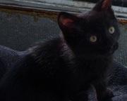 Отдам в добрые руки черного котенка,  1, 5 мес